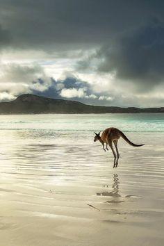 cc Western Grey Kangaroo (Australia), photo by Joel Durbridge Beautiful Creatures, Animals Beautiful, Animals And Pets, Cute Animals, Strange Animals, Australian Animals, Australian Beach, All Nature, Mundo Animal