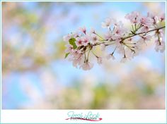 cherry blossom tree, springtime, Cherry Blossom, Fresh Look Photography, outdoor, couples, photo shoot, romantic, so in love