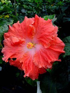 Hibiscus 'Watermelon Wine'