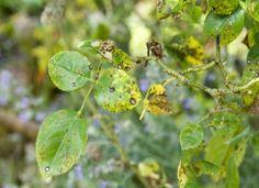 Taches noires sur vos rosiers ? Ces taches circulaires sont une maladie causée par un champignon. Repérer et lutter contre cette maladie du jardin d'ornement.