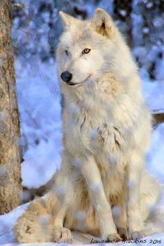 My Beautiful Wolf. Stay wild and Free.