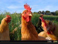Chickens ~ Gallines