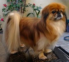 Pekingese were held sacred in ancient China and could only be owned by royalty. At that time, the punishment for stealing a Pekingese was death. Pekingese came to Europe as a result of war. When the British overtook the Chinese Imperial Palace in 1860, they returned home with several of the dogs.