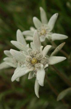 Edelweiss: Leontopodium alpinum [Family: Asteraceae]