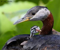 Red-necked Grebe chick (less than 2 weeks old) safely nestled on the parent's back. Found in the northern hemisphere. Jay Stotts.