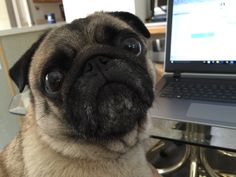Excuse me... Pug hard at work! (Waffles)