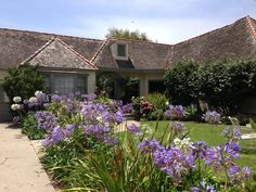 Lustrous blue aganpanthus lining driveway to this lovely cottage