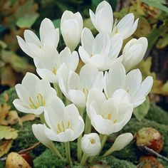 white bulb flowers | White Autumn Crocus Bulbs, Crocus kotschyanus - Bearded Iris from ...