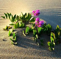 Beach Pea Vine, Lathyrus japonicus, 25 seeds lovely ground cover, erosion control, perennial zones 3 to loves sand Coastal Gardens, Beach Gardens, Mixed Border, Florida Plants, Erosion Control, Pea Flower, Beach Wedding Flowers, Climbing Vines, Ground Cover Plants