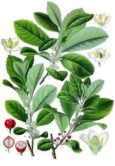 """Mate-Strauch (Ilex paraguariensis), Illustration """"Der #Mate_Strauch (Ilex paraguariensis A.St.-Hil, auch: Ilex paraguensis D.Don und Ilex paraguayensis Hook.), auch Mate-Baum genannt, ist eine Pflanzenart aus der Gattung der Stechpalmen (Ilex) in der Familie der Stechpalmengewächse (Aquifoliaceae). Sie ist in Südamerika verbreitet. Das Aufgussgetränk Mate-Tee aus den geschnittenen trockenen Blättern wird traditionell in Südamerika getrunken."""""""