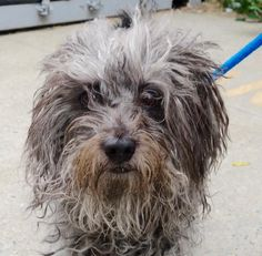 GIANNA – A1090518 - TO BE DESTROYED TODAY - FRI. - 9/30/16 - AVAILABLE AT MANHATTAN ACC.  SEVERE OWNER NEGLECT.  SHOULD HAVE BEEN CHARGED.