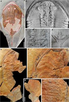 Trilobite fossils reveal unseen 'footprint' maker
