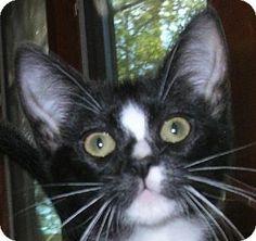 San Diego, CA - Domestic Shorthair. Meet Flame a Cat for Adoption.