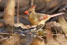 Female Cardinal - photo donated by Maryann Eastman