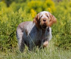 Pointing Dog Blog: Breed of the Week: The Spinone
