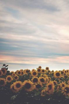 one of the most beautiful places on camp grounds: the sunflower fields. All The Bright Places, Sunflower Fields, Sunflower Flower, Sunflower Season, Jolie Photo, Mellow Yellow, Yellow Sun, Pretty Pictures, Amazing Photos