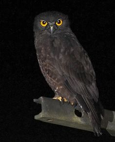Brown Hawk Owl - love the photo***so dark it melts into the night…If only for those beautiful eyes…that's how it didn't melt away..thanks for sharing :)
