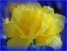 Yellow Tulip with Blue Background