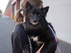 TO BE DESTROYED 07/06/14  Brooklyn Center *** NEW PHOTO ***   My name is LADY. My Animal ID # is A1004978.  I am a female black and white schipperke mix. The shelter thinks I am about 3 YEARS old.   I came in the shelter as a OWNER SUR on 06/28/2014 from NY 11212, owner surrender reason stated was MOVE2PRIVA.