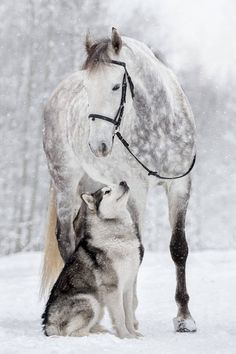 Just beautiful! Dapple grey horse and Husky in the snow. Horses and dogs are great friends. Just beautiful! Dapple grey horse and Husky in the snow. Horses and dogs are. Horses And Dogs, Cute Horses, Pretty Horses, Horse Love, Wild Horses, Cute Funny Animals, Cute Baby Animals, Animals And Pets, Cute Dogs