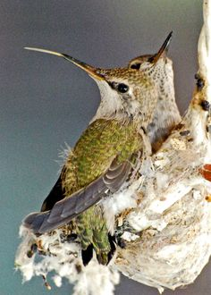 more hummingbird babies in nest