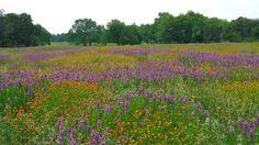 native grass and wildflower meadow - blog Jill Nokes