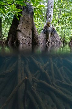 Mangrove Forest on Gam, Raja Ampat, West Papua, Indonesia Beautiful World, Beautiful Places, Landscaping Around Trees, Mangrove Forest, Tree Roots, Nature Tree, Jolie Photo, Plantation, Amazing Nature