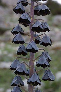 """""""Fritillaria persica"""" é um planta encontrada no Oriente Médio. Muito bonita, tem as flores variando de tons escuros como este quase negro, passando pelo roxo e o verde claro."""