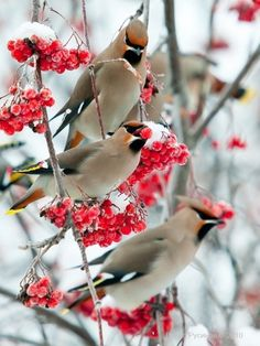 Cedar Waxwings. We get these in our crab apple tree sometimes in the spring. They are very pretty.
