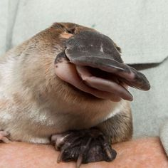 Funny Animal Pictures, Cute Funny Animals, Cute Baby Animals, Animals And Pets, Baby Platypus, Gato Animal, Australian Animals, Cute Creatures, Animal Quotes