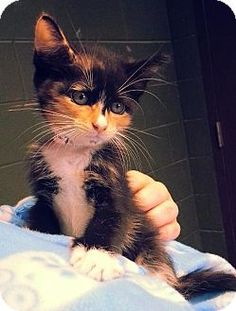 Prattville, AL - Domestic Mediumhair. Meet Riley 20593, a kitten for adoption. http://www.adoptapet.com/pet/10977332-prattville-alabama-kitten
