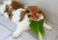 Bunny eating a fresh snack