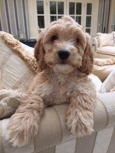 Cockapoo Dog, Cavapoo Puppies, Mini Goldendoodle, Puppys, Westies, Cute Little Puppies, Cute Puppies, Cute Dogs, Baby Animals