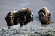 In Arctic Greenland, studies show that without caribou and muskoxen, pictured here, as top herbivores, higher temperatures can lead to decreased diversity in tundra plants and, in turn, affect many other species dependent on them. (Credit: Eric Post, Penn State University)