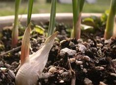 HOW TO GROW GARLIC IN CONTAINERS & HARVEST - planting, protecting, fertilizing, trimming and more...