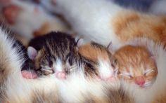 Jak kociaki odnajdują sutki matki?