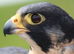 The Peregrine Falcon is the fastest moving species on planet Earth. They can gain incredible top speeds of up to 242 mph while at a dive, making it the fastest member of the animal kingdom. Peregrine falcons are among the world's most common birds of prey and live on all continents except Antarctica.
