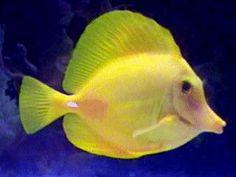 ReefStudy.com - Yellow Tangs