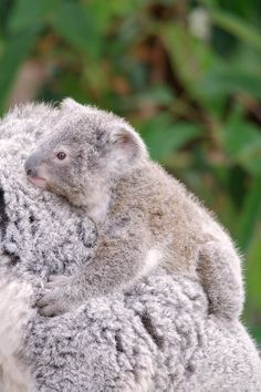Koala joey emerged from mom's pouch just in time for summer.