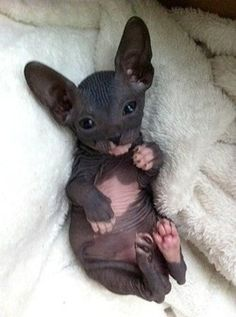 cat cute omg want blue pink purple Sphynx Hairless sphynx cat ...