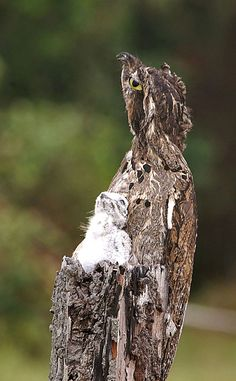 Potoo with chick...some of the best camo i've ever seen