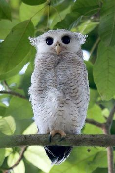 Barred Eagle-Owl, juvenile (Bubo sumatranus) ♡