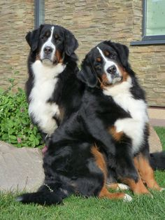 Bernese Mountain Dogs....i want one so bad but I hate how they have such short life spans and always die of cancer young!!