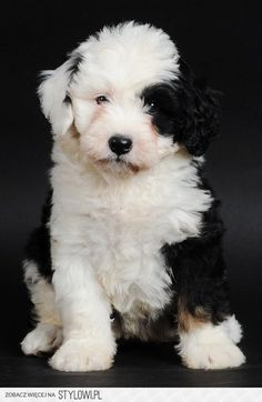 Mini Bernedoodle oh dear..the cuteness factor is off the charts!