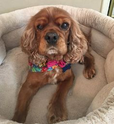 You've been invited to meet Daisy Doodle, a Female Cavalier King Charles Spaniel in Sherman Oaks, CA!