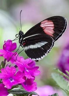 Butterfly Kisses, Butterfly Flowers, Butterfly Wings, Bright Flowers, Pink Flowers, Beautiful Bugs, Beautiful Butterflies, Beautiful Flowers, Moth Caterpillar