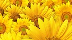 Desktop Background Download with Macro Photo of Sunflowers