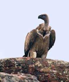 Cape vulture. Vautour chassefiente - Gyps coprotheres