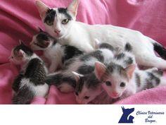 La lactancia en gatitos. CLÍNICA VETERINARIA DEL BOSQUE. La lactancia en los gatos suele durar un poco más del mes, cuando ya los cachorros tienen 4 semanas de nacidos,  podemos comenzar a ofrecer alimentos como leche maternizada (especial para gatitos). Es importante en este periodo alimentar muy bien a la madre con alimentos bajos en grasas pero ricos en proteínas y vitaminas. En Clínica Veterinaria del Bosque te sugerimos traer a tu mascota para indicarte el tipo de alimento adecuado…