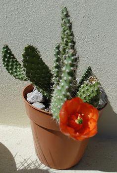 Mis Plantas - My plants: Cactus: Opuntia picardoi tunilla erectolada